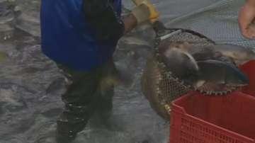 В навечерието на Никулден: Пътят на рибата до трапезата