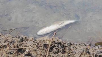Очаква се лабораторни данни за отровената риба в р. Марица да излязат утре