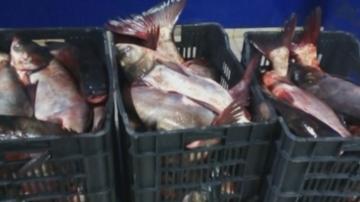 Конфискуваха тон и половина риба без документи в Тутракан
