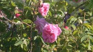 Закон ще гарантира качеството и цената на българската маслодайна роза