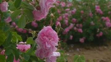 Как ще се защити българското розово масло?