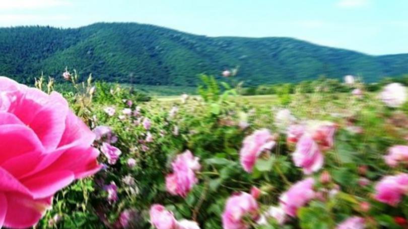 снимка 1 Румен Порожанов за розопроизводството: Минималната изкупна цена е невъзможна