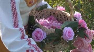 Розоберът в Карловско тази година започна по-рано заради топлото време