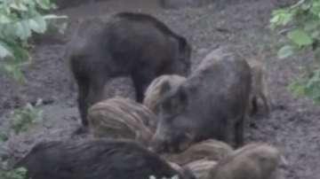 Очакват се резултатите за чума по свинете в Пловдивско