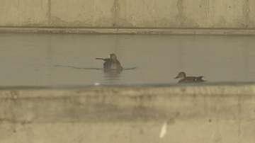 Диви птици си почиват в топлите басейни на Пречиствателната станция в Русе