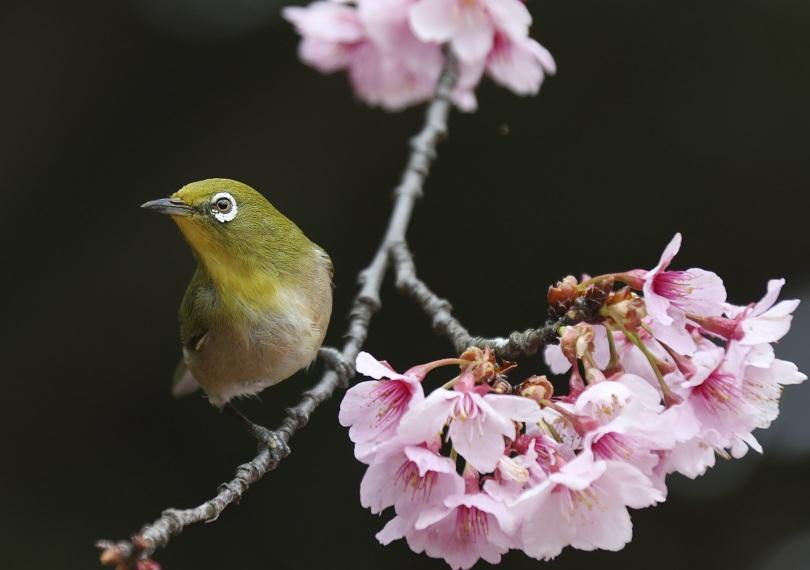 В Япония започна сезонът на сакурата. Първите вишни цъфнаха в