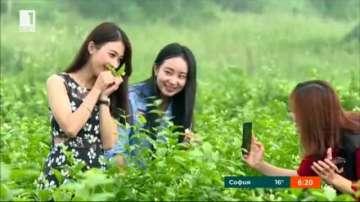 Жасмин - цветето за милиони в индустрията на Китай