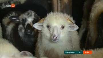 Преди Великден и Гергьовден: Засилени проверки по магазините за агнешко месо