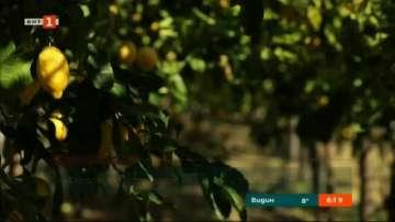 Сред лимоновите дръвчета по бреговете на Амалфи