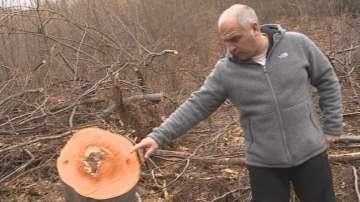 Незаконна сеч на Витоша засегна вековни гори