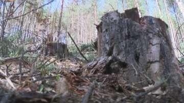 Отсякоха незаконно 621 дървета край Дорково