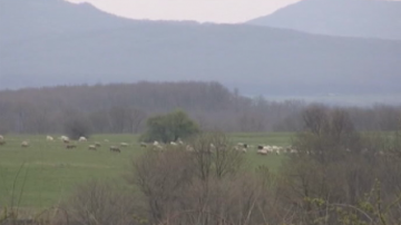 Второ огнище на рядък вид чума по овцете и козите вдигна на крак БАБХ-Бургас