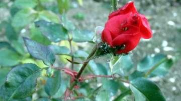 Рози цъфтят в Силистра. Времето у нас през уикенда остава студено