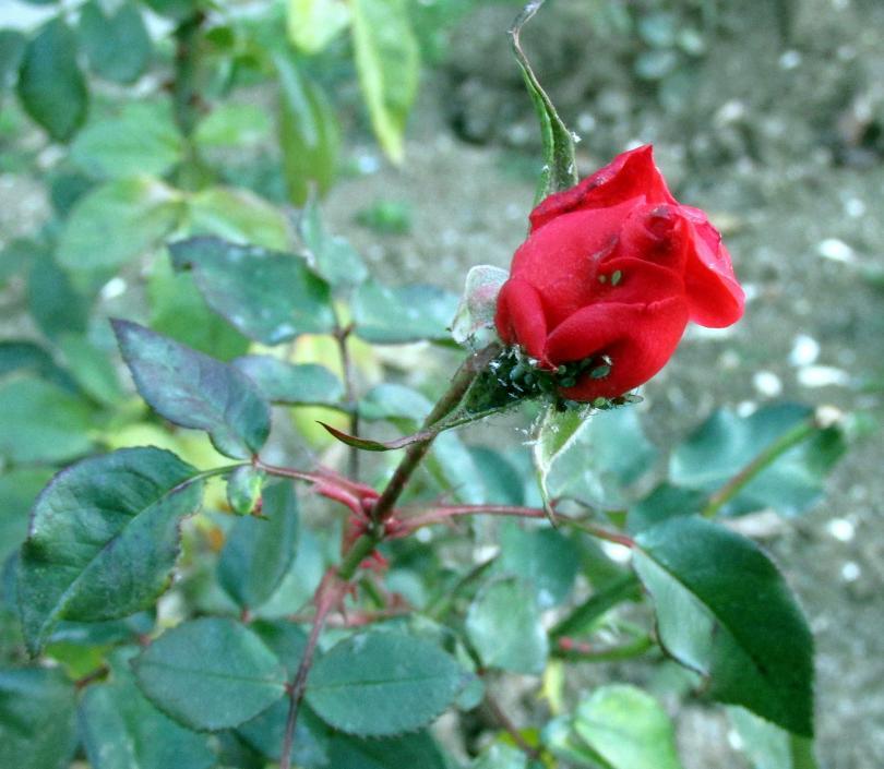 рози цъфтят силистра времето нас уикенда остава студено