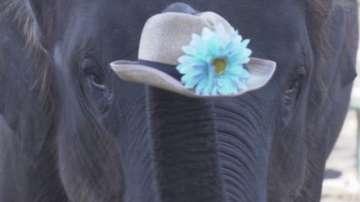 Дания откупува последните четири циркови слона, за да ги пенсионира