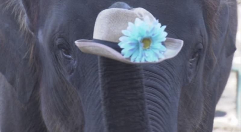 Правителството на Дания планира да откупи последните четири циркови слона.