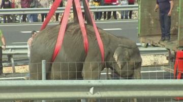 Испанска магистрала беше затворена заради пет слона, избягали от камион