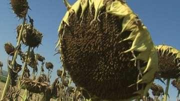 По-ниски добиви от маслодайния слънчоглед тази година, но с по-високо качество