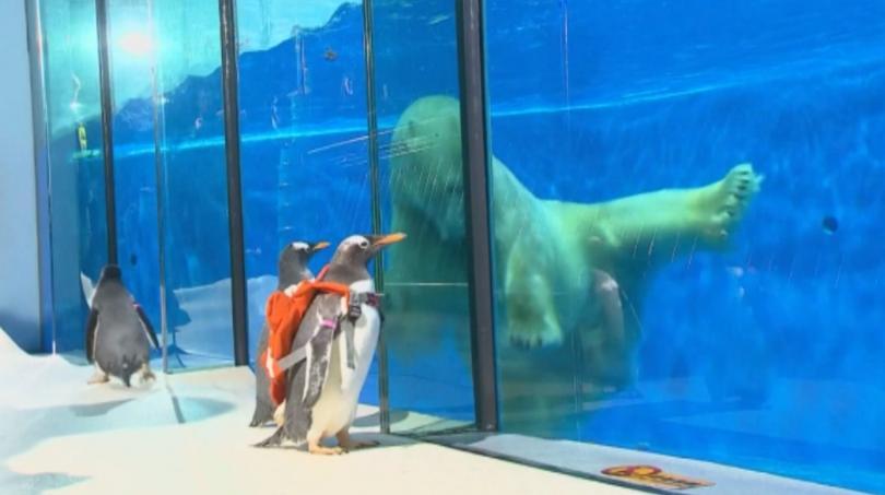 Малко вероятно е пингвин от Южния полюс да срещне през