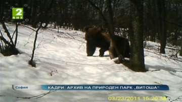 Кафяви мечки в Природен парк Витоша