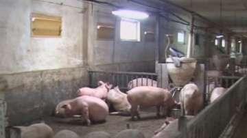 Мерки заради заплахата от африканска чума по свинете