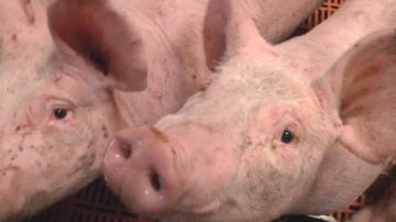 Ветеринари се опасяват, че чумата по свинете от Румъния ще засегне Силистренско