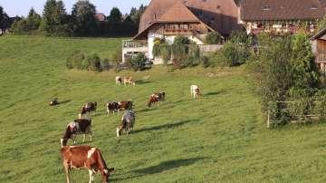 В Швеция празнуват първата пролетна паша на кравите