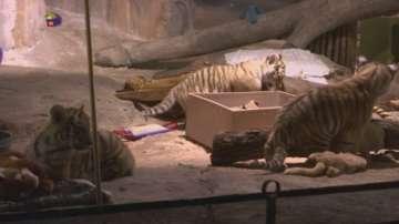 Дебют на амурски тигърчета в Милуоки