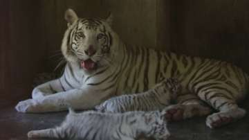Тигърчета са най-новите обитатели в зоопарка в Гуадалупе