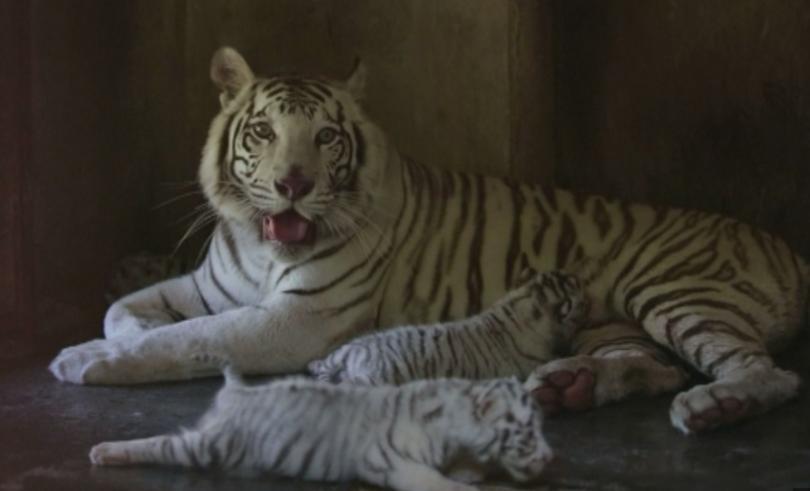 Зоопарк в мексиканския град Гуадалупе показа най-малките си обитатели. Това