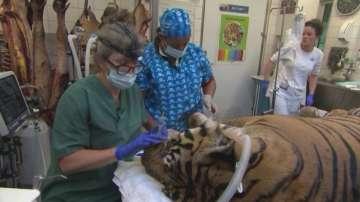 Извършиха зъболекарска операция на 14-годишен тигър