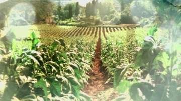 Около 16 000 тона тютюн от четирите сортови групи се очакват тази година