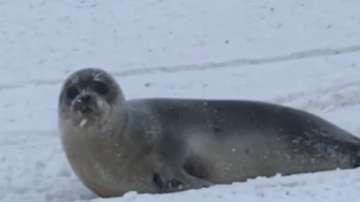 Тюлени превзеха канадския щат Нюфаундленд