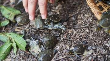 6 000 бебета костенурки бяха пуснати в река Амазония