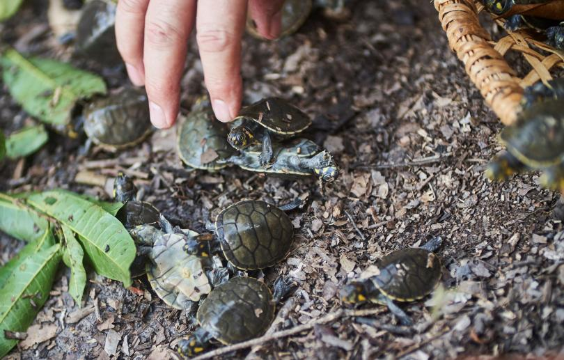 Снимка: 6 000 бебета костенурки бяха пуснати в река Амазония
