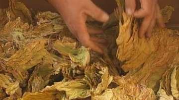 В Долно Осеново са доволни от по-високите цени на тютюна