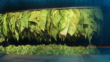 1,3 млн. лв. са изплатени досега на тютюнопроизводители по схемата de minimis