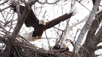 В гнездото на най-известните белоглави орли