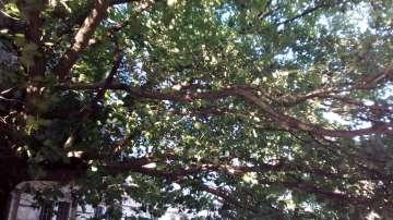 Внимание!!! Опасно дърво в центъра на София