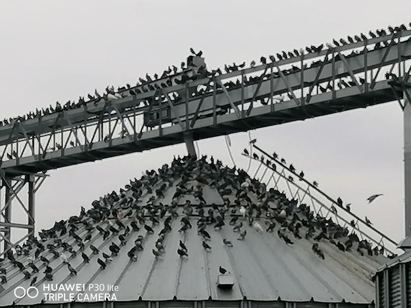 снимка 6 Пристанище Свищов и царството на гълъбите