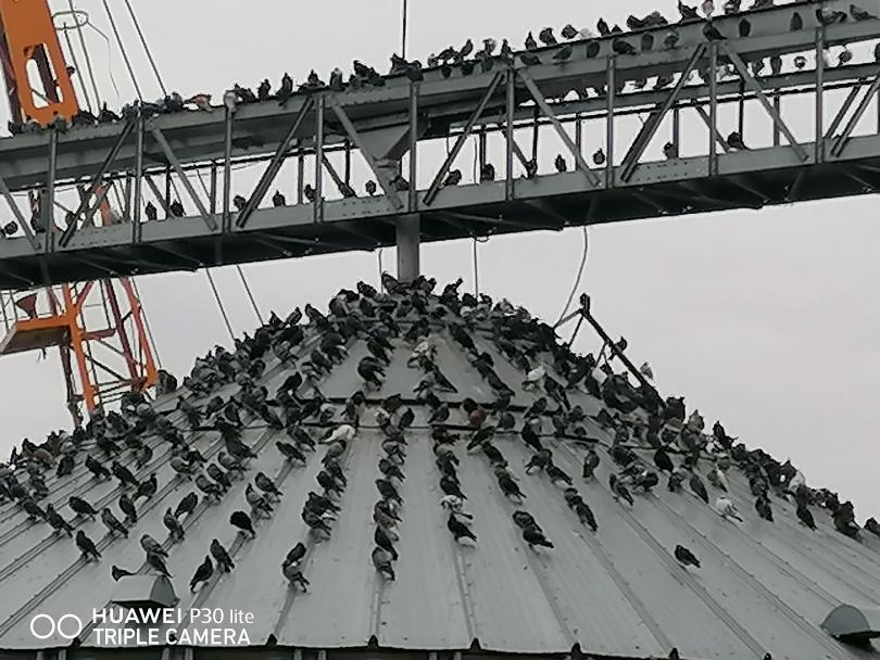 снимка 5 Пристанище Свищов и царството на гълъбите