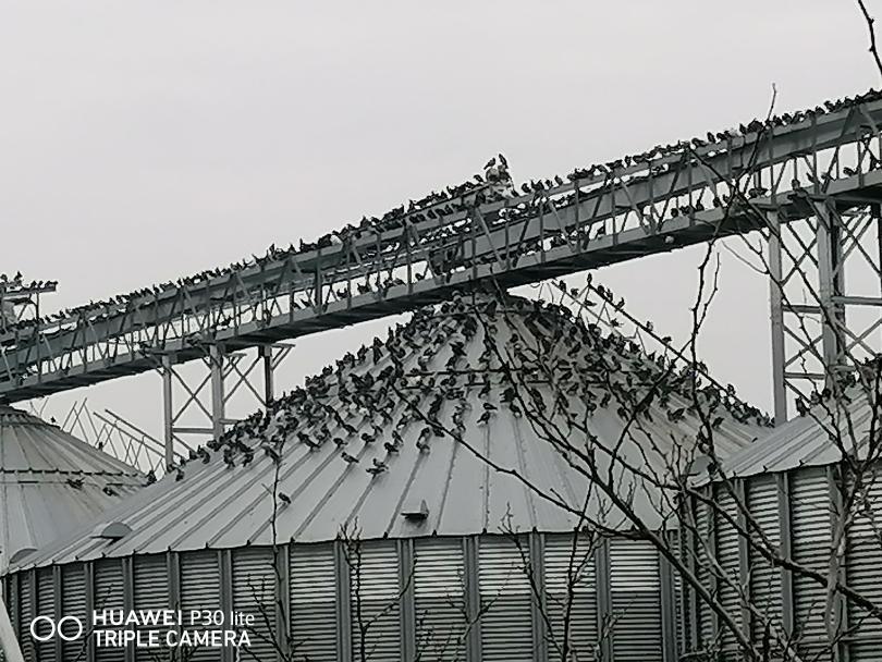 снимка 3 Пристанище Свищов и царството на гълъбите