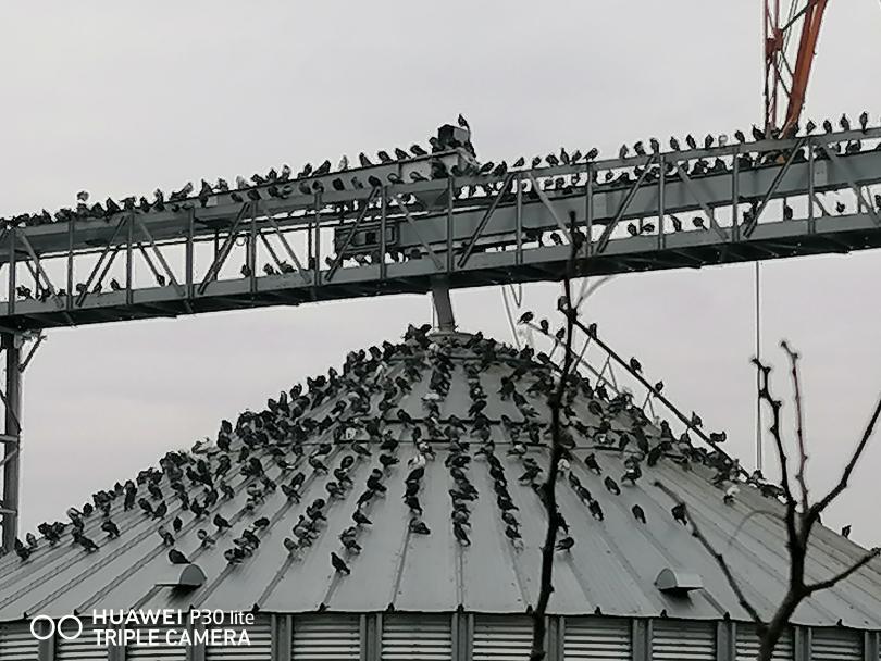 снимка 2 Пристанище Свищов и царството на гълъбите