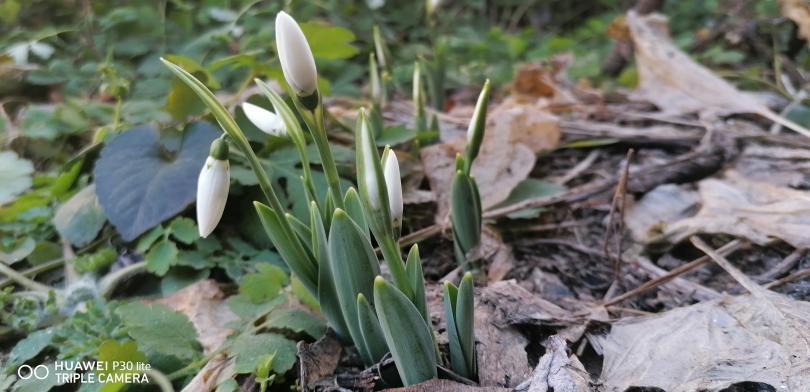 Предвестници на пролетта