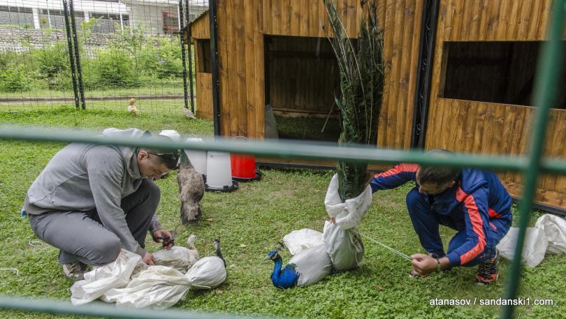 15 пауни бяха заселени в парк Св. Врач в Сандански