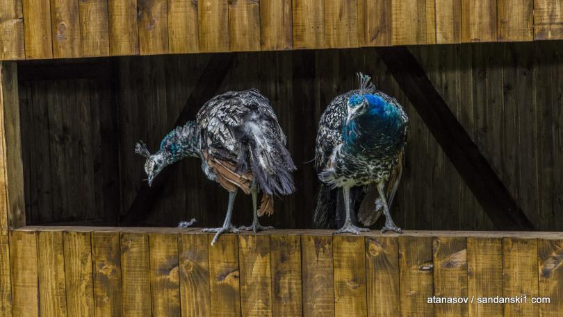 снимка 3 15 пауни бяха заселени в парк Св. Врач в Сандански