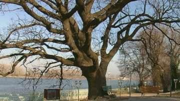 Вековният дъб в Силистра води в конкурса Дърво на годината