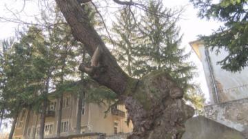 """Вековен дъб от Ново село участва в """"Европейско дърво на 2020"""