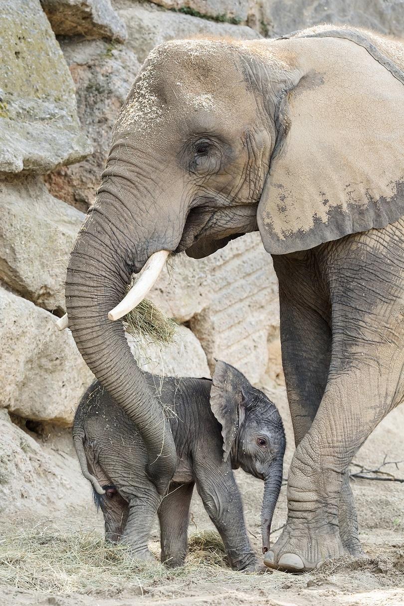 снимка 1  Женско слонче се роди във Виенския зоопарк