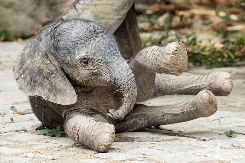 женско слонче роди виенския зоопарк